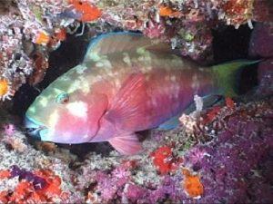 Cá mó đỏ