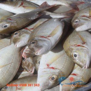 Cá đỏ mép tươi nguyên con