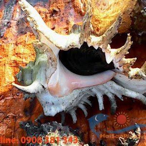 Ốc gai trắng từ Phú Quý